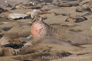 A bull elephant seal rears up on his foreflippers and bellows, warning nearby males not to enter his beach territory.  He is surrounded by smaller females, many of which comprise his harem.  Sandy beach rookery, winter, Central California. Piedras Blancas, San Simeon, USA, Mirounga angustirostris, natural history stock photograph, photo id 15431