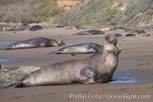 Bull elephant seal, adult male, bellowing. Its huge proboscis is characteristic of male elephant seals. Scarring from combat with other males.  Central California. Piedras Blancas, San Simeon, California, USA, Mirounga angustirostris, natural history stock photograph, photo id 15473