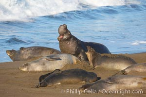 Male elephant seal, surrounded by his harem females, rears up on its foreflippers and bellows to intimidate other males and to survey its beach territory.  Winter, Central California, Mirounga angustirostris, Piedras Blancas, San Simeon