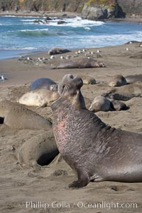 Amid females and pups, a bull elephant seal rears up on his foreflippers and bellows, warning nearby males not to enter his beach territory.  Sandy beach rookery, winter, Central California, Mirounga angustirostris, Piedras Blancas, San Simeon