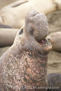 Male elephant seal rears up on its foreflippers and bellows to intimidate other males and to survey its beach territory.  Winter, Central California. Piedras Blancas, San Simeon, California, USA, Mirounga angustirostris, natural history stock photograph, photo id 20385