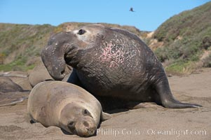 A bull elephant seal prepares to mate with a much smaller female.  Males may up to 5000 lbs, triple the size of females.  Sandy beach rookery, winter, Central California. Piedras Blancas, San Simeon, USA, Mirounga angustirostris, natural history stock photograph, photo id 15505