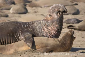 A bull elephant seal prepares to mate with a much smaller female.  Males may up to 5000 lbs, triple the size of females.  Sandy beach rookery, winter, Central California. Piedras Blancas, San Simeon, California, USA, Mirounga angustirostris, natural history stock photograph, photo id 15506