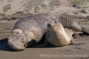 A bull elephant seal forceably mates (copulates) with a much smaller female, often biting her into submission and using his weight to keep her from fleeing.  Males may up to 5000 lbs, triple the size of females.  Sandy beach rookery, winter, Central California. Piedras Blancas, San Simeon, USA, Mirounga angustirostris, natural history stock photograph, photo id 15528