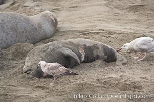 An elephant seal pup carcass is picked over by seagulls.  The pup was perhaps abandoned by, or became separated from, its mother, or else succumbed to disease or injury from much larger males during their territorial battles on the beach, Mirounga angustirostris, Piedras Blancas, San Simeon, California