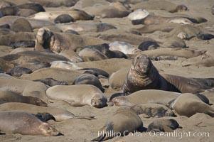 Elephant seals crowd a sand beach at the Piedras Blancas rookery near San Simeon. Piedras Blancas, San Simeon, California, USA, Mirounga angustirostris, natural history stock photograph, photo id 20397