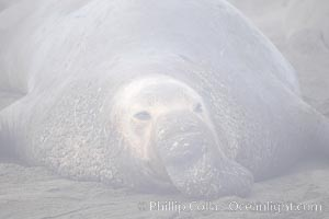 An enormous elephant seal bull male lays on the beach, partially obscured by typical central California coastal fog, Mirounga angustirostris, Piedras Blancas, San Simeon