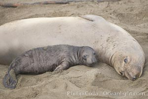 Mother elephant seal and her pup.  The pup will nurse for 27 days, when the mother stops lactating and returns to the sea.  The pup will stay on the beach 12 more weeks until it becomes hungry and begins to forage for food. Piedras Blancas, San Simeon, California, USA, Mirounga angustirostris, natural history stock photograph, photo id 20402
