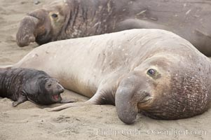 An enormous male elephant seal dwarfs a tiny pup.  The bull is not interested in the pup and will typically ignore the pup, but the bull will not hesitate to run the pup over as it moves through the crowd on the beach, Mirounga angustirostris, Piedras Blancas, San Simeon, California