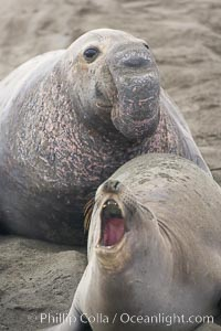 A bull elephant seal eyes a female before forceably mating (copulating) with her, Mirounga angustirostris, Piedras Blancas, San Simeon, California