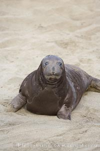 Elephant seal pup.  The pup will nurse for 27 days, when the mother stops lactating and returns to the sea.  The pup will stay on the beach 12 more weeks until it becomes hungry and begins to forage for food, Mirounga angustirostris, Piedras Blancas, San Simeon, California