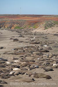 Elephant seals crowd a sand beach at the Piedras Blancas rookery near San Simeon