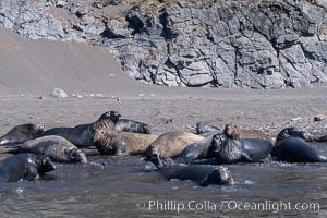 Northern elephant seals, molting, hauled out on beach, Mirounga angustirostris, Guadalupe Island (Isla Guadalupe)