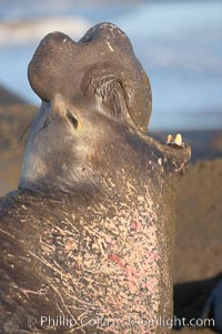 Bull elephant seal, adult male, bellowing. Its huge proboscis is characteristic of male elephant seals. Scarring from combat with other males.  Central California. Piedras Blancas, San Simeon, USA, Mirounga angustirostris, natural history stock photograph, photo id 15514
