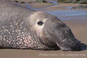 Adult male elephant seal lies on the beach, displaying the huge proboscis which is characteristic of the species.  Winter, Central California. Piedras Blancas, San Simeon, California, USA, Mirounga angustirostris, natural history stock photograph, photo id 15541