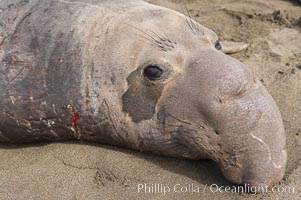 Adult male elephant seal lies on the beach, displaying the huge proboscis which is characteristic of the species.  Winter, Central California, Mirounga angustirostris, Piedras Blancas, San Simeon
