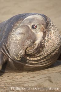 This bull elephant seal, an old adult male, shows extreme scarring on his chest and proboscis from many winters fighting other males for territory and rights to a harem of females, Mirounga angustirostris, Piedras Blancas, San Simeon, California