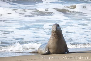 Bull elephant seal exits the water to retake his position on the beach.  He shows considerable scarring on his chest and proboscis from many winters fighting other males for territory and rights to a harem of females.  Sandy beach rookery, winter, Central California, Mirounga angustirostris, Piedras Blancas, San Simeon