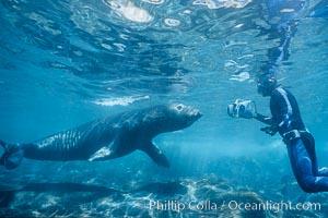 Northern elephant seal. Guadalupe Island (Isla Guadalupe), Baja California, Mexico, Mirounga angustirostris, natural history stock photograph, photo id 03527