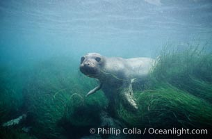 Juvenile northern elephant seal, underwater, San Benito Islands. San Benito Islands (Islas San Benito), Baja California, Mexico, Mirounga angustirostris, natural history stock photograph, photo id 10034
