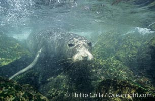 Northern elephant seal, underwater, San Benito Islands, Mirounga angustirostris, San Benito Islands (Islas San Benito)