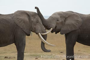 Elephants sparring with tusks. Amboseli National Park, Kenya, Loxodonta africana, natural history stock photograph, photo id 29491