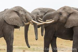 Elephants sparring with tusks. Amboseli National Park, Kenya, Loxodonta africana, natural history stock photograph, photo id 29492