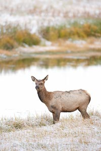Image 19725, Male elk bugling during the fall rut. Large male elk are known as bulls. Male elk have large antlers which are shed each year. Male elk engage in competitive mating behaviors during the rut, including posturing, antler wrestling and bugling, a loud series of screams which is intended to establish dominance over other males and attract females. Madison River, Yellowstone National Park, Wyoming, USA, Cervus canadensis, Phillip Colla, all rights reserved worldwide. Keywords: animal, animalia, antler, artiodactyla, artiodactyle ungulate, autumn, canadensis, cervid, cervidae, cervinae, cervus, cervus canadensis, cervus elephus canadensis, chordata, elaphus, elk, fall, madison river, mammal, national parks, ruminant, rut, rutting season, ungulate, usa, vertebrata, vertebrate, wapiti, world heritage sites, wyoming, yellowstone, yellowstone national park.