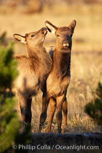Two young elk at play, autumn, fall, Cervus canadensis, Yellowstone National Park, Wyoming