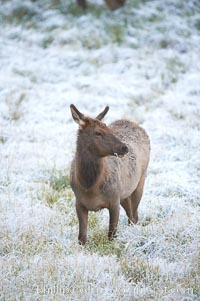 Female elk walks through grass meadow in early autumn snowfall, Cervus canadensis, Yellowstone National Park, Wyoming