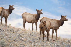 Small group of female and juvenile elk, Cervus canadensis, Mammoth Hot Springs, Yellowstone National Park, Wyoming