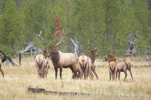 Bull elk, with large antlers, alongside female elk during rutting season, autumn.  A bull will defend his harem of 20 cows or more from competing bulls and predators. Only mature bulls have large harems and breeding success peaks at about eight years of age. Bulls between two to four years and over 11 years of age rarely have harems, and spend most of the rut on the periphery of larger harems. Young and old bulls that do acquire a harem hold it later in the breeding season than do bulls in their prime. A bull with a harem rarely feeds and he may lose up to 20 percent of his body weight while he is guarding the harem, Cervus canadensis, Yellowstone National Park, Wyoming