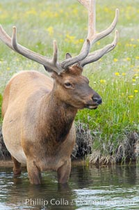 Elk in the Gibbon River, Cervus canadensis, Gibbon Meadows, Yellowstone National Park, Wyoming