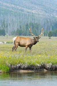 Bull elk, antlers bearing velvet, Gibbon Meadow. Elk are the most abundant large mammal found in Yellowstone National Park. More than 30,000 elk from 8 different herds summer in Yellowstone and approximately 15,000 to 22,000 winter in the park. Bulls grow antlers annually from the time they are nearly one year old. When mature, a bulls rack may have 6 to 8 points or tines on each side and weigh more than 30 pounds. The antlers are shed in March or April and begin regrowing in May, when the bony growth is nourished by blood vessels and covered by furry-looking velvet, Cervus canadensis, Gibbon Meadows