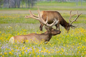 Elk rest in tall grass surrounded by wildflowers, Gibbon Meadow, Cervus canadensis, Gibbon Meadows, Yellowstone National Park, Wyoming
