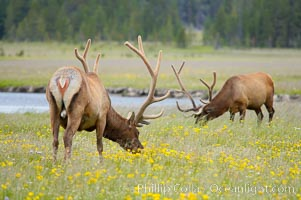 Elk grazing among wildflowers in Gibbon Meadow, Cervus canadensis, Gibbon Meadows, Yellowstone National Park, Wyoming