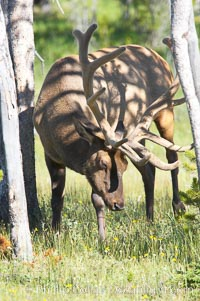 Elk rubbing antlers against a tree to remove the velvet coating, Cervus canadensis, Yellowstone National Park, Wyoming