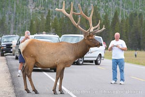 Tourists get a good look at wild elk who have become habituated to human presence in Yellowstone National Park. Yellowstone National Park, Wyoming, USA, Cervus canadensis, natural history stock photograph, photo id 13192