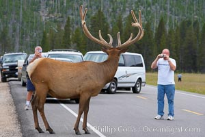 Tourists get a good look at wild elk who have become habituated to human presence in Yellowstone National Park, Cervus canadensis