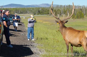 Tourists get a good look at wild elk who have become habituated to human presence in Yellowstone National Park. Yellowstone National Park, Wyoming, USA, Cervus canadensis, natural history stock photograph, photo id 13169