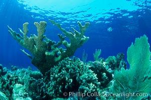 Elkhorn coral, Acropora palmata, Roatan