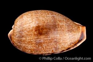 Elongate Caurica Cowrie, Cypraea caurica elongata