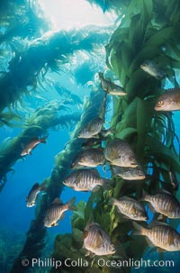 Image 04813, Black perch in kelp forest. San Clemente Island, California, USA, Embiotoca jacksoni, Phillip Colla, all rights reserved worldwide. Keywords: animal, black perch, california, california baja california, channel islands, cluster, embiotoca jacksoni, fish, fish behavior, fishes, forest, giant kelp, group, indo-pacific, kelp forest, marine, marine fish, nature, ocean, oceans, outdoors, outside, pacific, pacific ocean, san clemente island, school, schooling, sea, sea perch, seaweed, underwater, usa, wildlife.