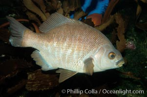 Black perch., Embiotoca jacksoni, natural history stock photograph, photo id 09412