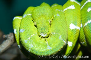 Emerald tree boa.  Emerald tree boas are nocturnal, finding and striking birds and small mammals in complete darkness.  They have infrared heat receptors around their faces that allow them to locate warm blooded prey in the dark, sensitive to as little as 0.4 degrees of Fahrenheit temperature differences., Corralus caninus, natural history stock photograph, photo id 13965