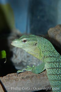 Emerald tree monitor lizard.  Arboreal, dwelling in trees in New Guinea jungles where it hunts birds and small mammals, Varanus prasinus prasinus