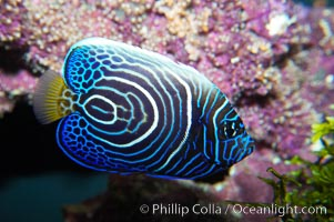 Emperor angelfish, juvenile coloration, Pomacanthus imperator