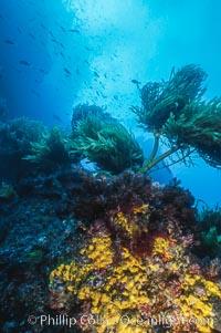 Encrusting sponges and southern palm kelp, Guadalupe Island, Mexico, Guadalupe Island (Isla Guadalupe)