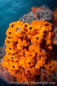 Encrusting sponges cover the lava reef, Cousins