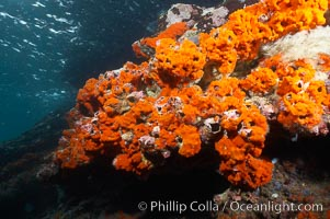 Encrusting sponges cover the lava reef. Cousins, Galapagos Islands, Ecuador, natural history stock photograph, photo id 16459
